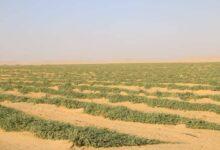 صورة تخصيص أزيد من 134 ألف هكتار للزراعات الاستراتيجية بولايات الجنوب