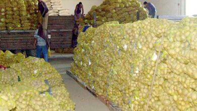 صورة إغراق الأسواق بأكثر من 100 ألف طن من البطاطا